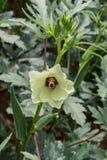 Okra kwiat w ostrości i roślina Obrazy Royalty Free