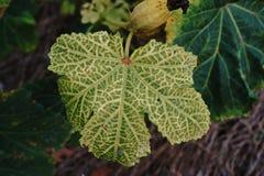 Okra leaf disease. Plant disease from virus Royalty Free Stock Image