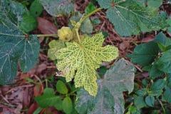 Okra leaf disease. Plant disease from virus Stock Photography