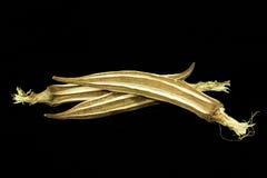 Okra lub ladyfinger roślina Fotografia Royalty Free