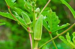 Okra na árvore imagem de stock