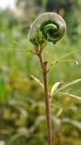Okra plant. In garden - ladies finger Stock Photo