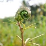 Okra plant. In garden with water drops - ladies finger Stock Photos