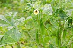 Okra Plant Stock Photo