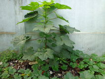 Okra plant surrounded by pumpkin leaves stock image