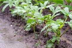 Okra plants Royalty Free Stock Image