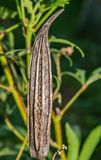 Okra. Seeds popping out of some dried okra pods. Vegetables food stock photos