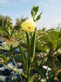 Okra som växer på blomningväxten Arkivbilder