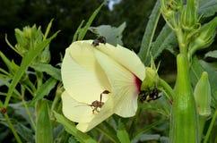 Okrablomningen som täckas i skalbaggar och, stapplar biet Royaltyfri Bild