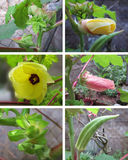 Okras Stages (lady finger). Six stages of growth with Okras (lady finger Stock Images
