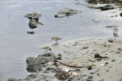 Okres zatrudnienia w płytkiej wodzie przy piaskowatą plażą na Snaefellsnes półwysepie zdjęcia stock