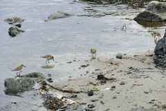 Okres zatrudnienia w p?ytkiej wodzie przy piaskowat? pla?? na Snaefellsnes p??wysepie obraz royalty free