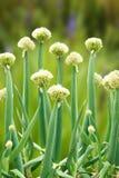 okresu kwiatonośny scallion obraz stock