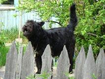 Okrutnie czerń strażnik Pies na strażnik usłudze Ochrona intymny dom zdjęcia stock