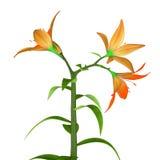 Okrytozalążkowa kwiat ilustracja wektor
