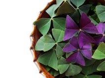 Oksalis, flor casera Foto de archivo libre de regalías