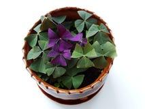 Oksalis, flor casera Fotografía de archivo libre de regalías