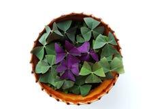 Oksalis, flor casera Foto de archivo