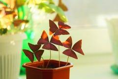 Oksalis, flor home Imagem de Stock