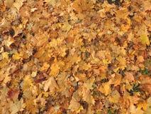 oktober för 2008 höstbakgrundsleaves yellow Royaltyfria Bilder