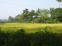 Oktober frodiga gräsplanfält - Goa, Indien Royaltyfri Fotografi