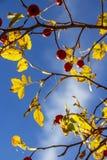 Oktober-hond nam takken met heupen op een blauwe hemelachtergrond, selectieve nadruk toe stock afbeeldingen