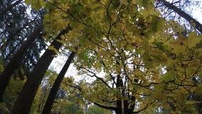 Oktober parkerar bakgrund för färgplatshösten, gulingsidor på trädlövverkultrarapiden arkivfilmer