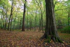 Oktober in Sonian-bos Stock Foto