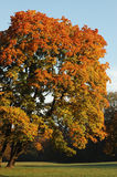 Oktober tree slightly tilted by nature. A tree in a by nature tilted position with colorful foliage Royalty Free Stock Photos