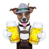 Oktoberfest dog. With two beer mugs ,smiling happy royalty free stock images