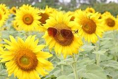 Okularów przeciwsłonecznych słoneczników plantaci pole Zdjęcie Royalty Free