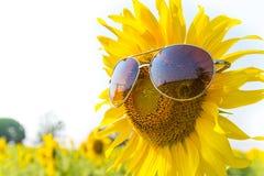 Okularów przeciwsłonecznych słoneczniki Obraz Royalty Free
