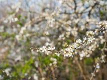 Okulizowanie i kwiatonośne Amelanchier gałąź obraz royalty free