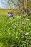 Okulizowanie i kwitnąca Pospolita Bluebell roślina Zdjęcie Stock