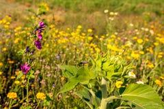Okulizowanie słonecznik wśród wszystkie rodzajów inne kwiatonośne rośliny Zdjęcie Royalty Free