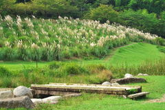 Okuno park and Pampas Grass Stock Photos