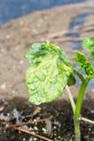Okura växt som är skadad vid bladlöss Arkivfoton