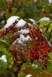 Okurzanie śnieg na łaciastych czerwieni i zieleni dębowych liściach w jesieni fotografia stock