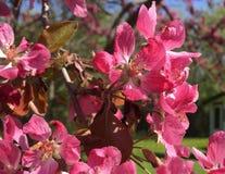 okwitnięć różowy jabłek zdjęcia royalty free