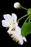 okwitnięć wiśni zakończenie fotografia stock
