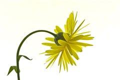 okwitnięcia calendula nagietka kolor żółty Fotografia Royalty Free