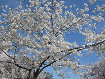 okwitnięcia czereśniowego drzewa biel Zdjęcia Royalty Free