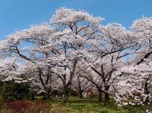 Okwitnięcia czereśniowi drzewa w ogrodowym Kyoto Japonia Zdjęcie Stock