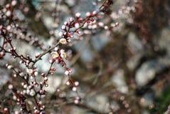 Okwitnięcia czereśniowi kwiaty w wiośnie uprawiają ogródek Frontowy widok przeciw tła pojęcia kwiatu wiosna biały żółtym potomstw Zdjęcie Royalty Free