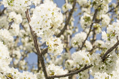 okwitnięcia czereśniowy wiosna czas drzewo Obrazy Stock