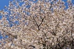 okwitnięcia czereśniowy wiosny drzewo Obraz Royalty Free