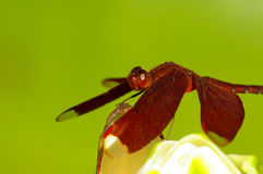 okwitnięcia dragonfly czerwień Zdjęcie Stock