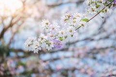 Okwitnięcia drzewo nad natury background/wiosną kwitnie, wiosna Backg/ Obrazy Stock