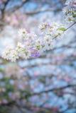 Okwitnięcia drzewo nad natury background/wiosną kwitnie, wiosna Backg/ Obraz Stock