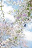 Okwitnięcia drzewo nad natury background/wiosną kwitnie, wiosna Backg/ Fotografia Stock